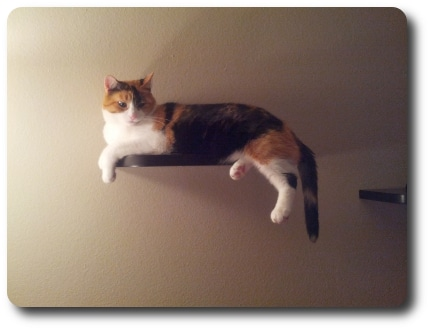Cally on her cat shelf